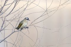 Light-vented Bulbul. A Light-vented Bulbul stands in winter branches. Scientific name: Pycnonotus sinensis Stock Photography