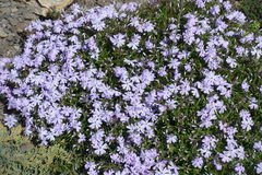 Light violet colored flowers of phlox subulata Royalty Free Stock Photo