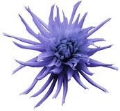 Light violet Dahlia flower, white isolated background with clipping path.   Closeup.  no shadows.  For design.  Bright shaggy flow. Light violet Dahlia flower Royalty Free Stock Image