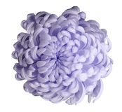 Light violet flower chrysanthemum on a white isolated background with clipping path. Closeup. For design. stock images