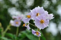Light violet flowers of blooming potato Royalty Free Stock Photo