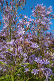 Light violet flowers close up Royalty Free Stock Photos