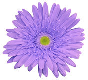 Light violet gerbera flower, white isolated background with clipping path.   Closeup.  no shadows.  For design. Royalty Free Stock Photography