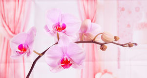 Light-violet orchid Royalty Free Stock Images