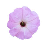 Light violet petunia isolated a on white background Stock Photography