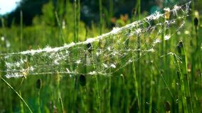 A light white web, with a spider on a green horsetail sways in the wind on a Sunny day. A light white web with a spider on a green horsetail sways in the wind stock video footage
