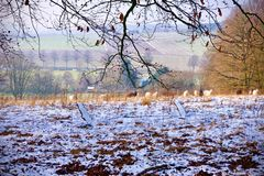 Light winter snow fall on rural farmland with grazing sheeps Stock Photo