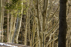 Light  in winter wood , Italy Royalty Free Stock Photo