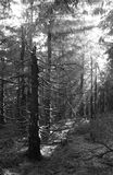 Light in the wood. Black and white photo of sunbeams shining into the dark eery spruce forest Royalty Free Stock Photos