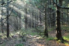 Light in the wood. Sunbeams shining into the dark eery spruce forest Stock Photography
