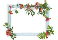 Light wooden vintage Vintage frame and berries of red autumn rowan on the contour on a light background. Isolate on white backgr. Ound. Procurement for your royalty free stock photos