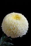 Light-yellow хризантема Стоковые Фотографии RF