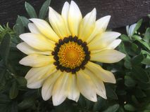 Yellow Gazania daisy flower plant Stock Photos