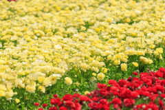 Light yellow asian buttercups Stock Images
