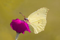 Light-yellow Butterfly on a Bloom. Close-up of a yellow butterfly drinking a nectar from a bloom against blurred background Royalty Free Stock Image
