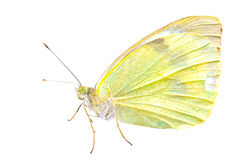 Light yellow butterfly on a white background Stock Photos