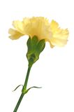 Light yellow carnation Royalty Free Stock Photography