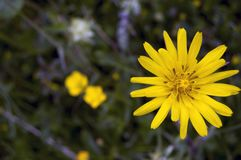 Light on the yellow flower. Tall yellow flower background. flowers yellow on blurred backgroundn stock image