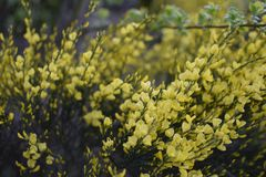 Light yellow flowers like a boquet. Pale yellow flowers thick garden. pattern of flowers yellow and green Stock Photos