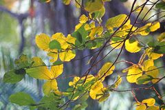 LIGHT ON YELLOW AND GREEN LEAVES IN THE EARLY MORNING stock photos