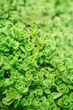 light yellow green plant sedum succulent with small leaves Royalty Free Stock Photos