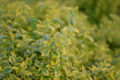 Light yellow leaves like a bouquet. Pale yellow leaves thick garden. pattern of flowers yellow and green Royalty Free Stock Photos