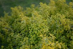 Light yellow leaves like a bouquet. Pale yellow leaves thick garden. pattern of flowers yellow and green Stock Photography