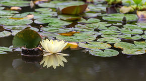Light yellow lily with reflection Royalty Free Stock Photos