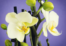 Light yellow orchid flowers with buds Royalty Free Stock Image