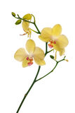 Light yellow orchid flowers isolated on white Stock Photos