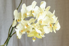 Light yellow orchid. Vanilla flowers orchid on a light background Stock Image