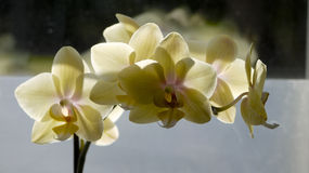 Light yellow orcid. Stock Images