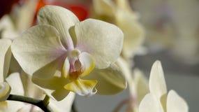 Light yellow orcid. Stock Photo