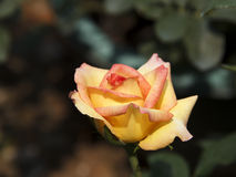 Light yellow and red rose Royalty Free Stock Image