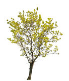 Light yellow spring tree isolated on white. Background stock photos