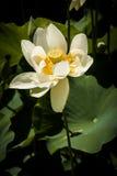 Light Yellow Waterlily Royalty Free Stock Photo