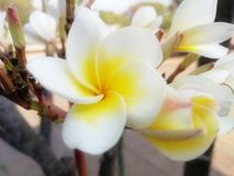 Light yellow and white petals of plumeria flowers stock photo