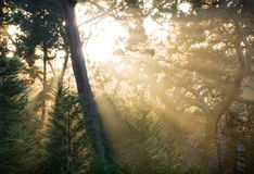 Lightbeams in Forest Royalty Free Stock Photos