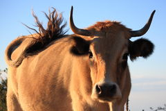 Lightbrown cow is wagging its tail Royalty Free Stock Images