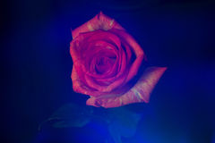 Lightbrush zmroku myst różany kwiat Zdjęcia Stock