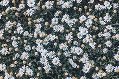Lighten daisy flowers in sunny day stock photos