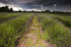 Lightening flashs in storm clouds over lavender. Beautiful image of moody dramatic storm clouds over vibrant lavender fields in countryside landscape with bolts Royalty Free Stock Image