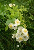 Lighter toned green leaves behind Wild Roses fallen petals Stock Image