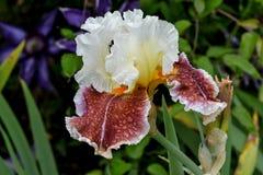 Lightheaded iris arkivbilder
