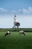 Lighthouse. Cows in front of a lighthouse in marken, the Netherlands royalty free stock photos