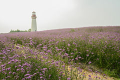 Lighthouse on flowering hilltop in early summer Stock Images