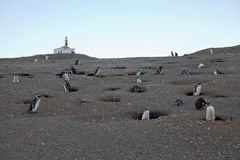 Lighthouse surrounded by Magellanic penguins. At Magdalena island, Chile Royalty Free Stock Image