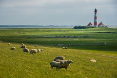 Lighthouse westerhever sheep field Sankt Peter Ording royalty free stock image