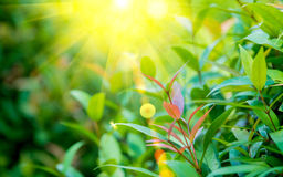 Lighting flare effect on Nature green leaf with green color bokeh background Stock Image