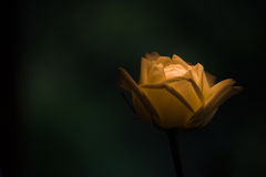 Lighting Rose Royalty Free Stock Photos